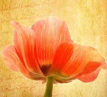 Anemone Coronaria by EvaMarIza