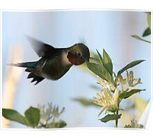 Rudy Throated Hummingbird Poster