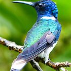 White necked Jacobin male by Linda Sparks