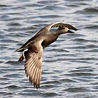 Gadwall by webbo