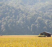 Paddy fields at Rupakot by Christopher Cullen