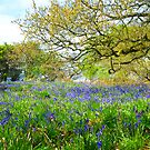 Bluebells in Launde Woods by Dave Rowley