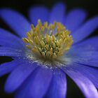 Anemone Blanda Macro by Astrid Ewing Photography