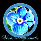 Veronica officinalis by ©The Creative  Minds