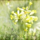 Cowslips in May by viennablue