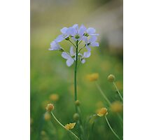 A Cuckoo flower emerges at Downton Abbey Photographic Print