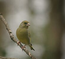 A perching green finch at Downton Abbey by miradorpictures