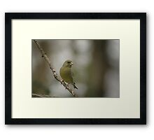 A perching green finch at Downton Abbey Framed Print