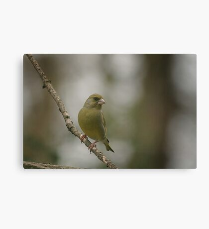 A perching green finch at Downton Abbey Canvas Print