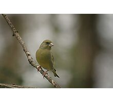 A perching green finch at Downton Abbey Photographic Print