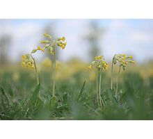 An emergence of cowslip at Downton Abbey Photographic Print