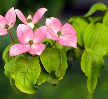 Soft Pink Flowers of the Deep Woods by Wolf Read