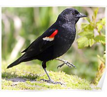 Chipper Red-Winged Bird Poster