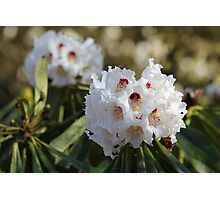 Red and White Ericaceous Splendour Photographic Print