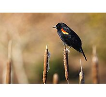 Black-Feathered Sentinel Photographic Print