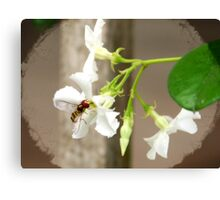 Confederate Jasmine ✿Syrphid Fly Canvas Print