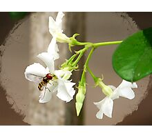 Confederate Jasmine ✿Syrphid Fly Photographic Print