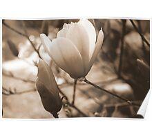 Sepia Magnolia Poster