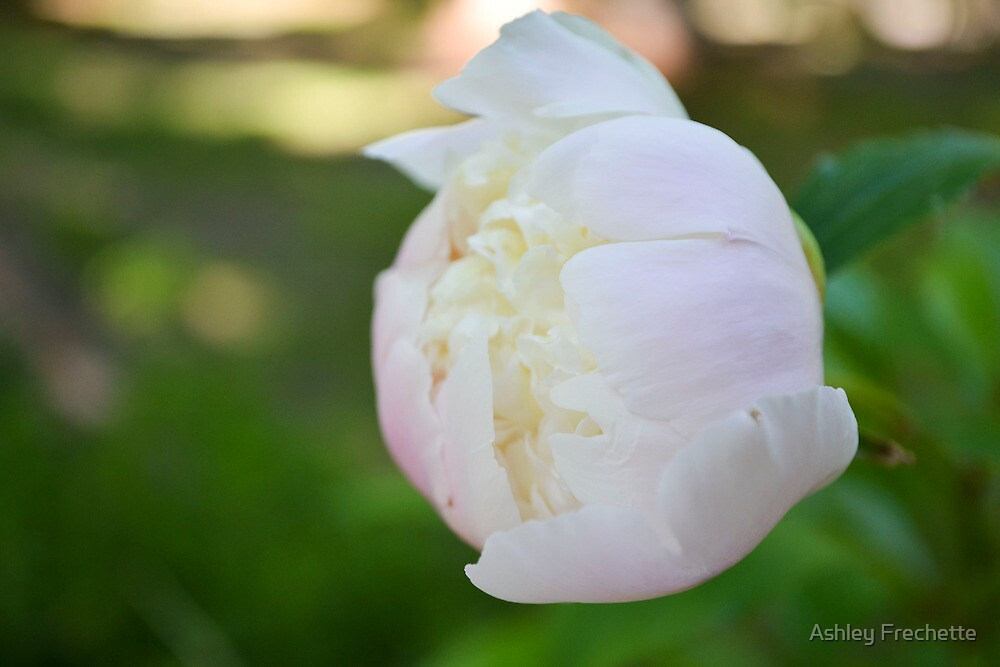 Peony Bloom by Ashley Frechette