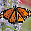 Monarch on Blue Fortune Agastache by dutchlab1