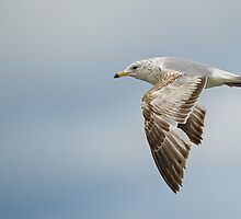 Ring-Billed Gull by (Tallow) Dave  Van de Laar
