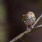 Loud warbler by jamesmcdonald