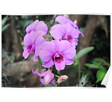 orchid - moth orchid Poster