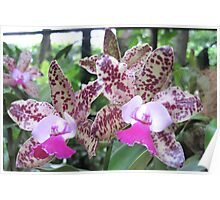 Orchid - Cattleya x Poster