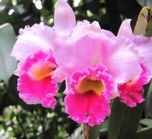 Orchid - Cattleya  by helenclare