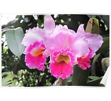 Orchid - Cattleya  Poster