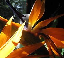 Bird of Paradise by helenclare