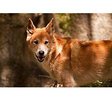 Dingo #1 Photographic Print
