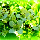 Nasturtium officinale, wild watercress by ©The Creative Minds