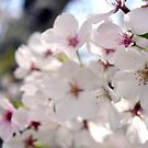 Close Up of Spring Cherry Blossoms by samanthapugsley