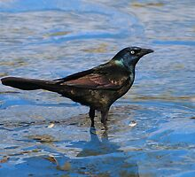 Common Grackle by Daniela Weil