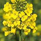 Raps or Rape Seed flowers. by David A. L. Davies