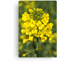 Raps or Rape Seed flowers. Canvas Print