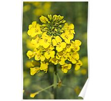 Raps or Rape Seed flowers. Poster