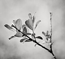 Sunlit Sprig of Leaves in Black and White by Natalie Kinnear