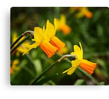 Daffodils in April Canvas Print