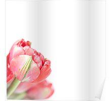 Peony Tulip... (2) Poster