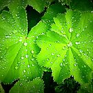 Alchemilla ~ Lady's Mantle by ©The Creative  Minds