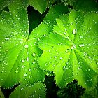 Alchemilla ~ Lady&#x27;s Mantle by The Creative Minds