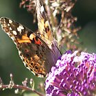 Painted Lady by Uni356