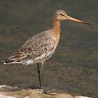 Black-Tailed Godwit by Lauren Tucker