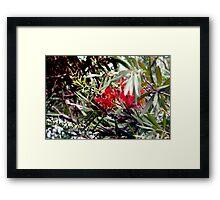Bottlebrush blooms and berries Framed Print