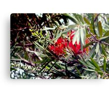 Bottlebrush blooms and berries Canvas Print