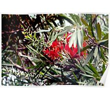 Bottlebrush blooms and berries Poster