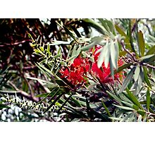Bottlebrush blooms and berries Photographic Print