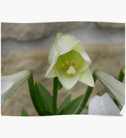 Cultivated Lily  Poster